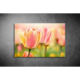 Tulipán poszter 001